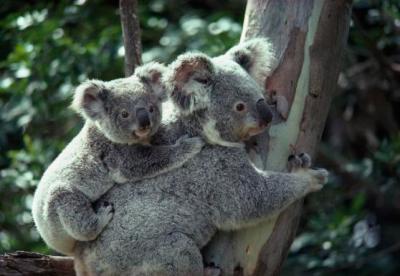 a-koala-bear-hugs-a-tree-national-geographic